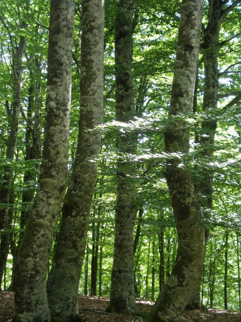 Troncos de cinco inmensos árboles en el frondoso bosque de Altube.
